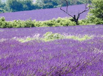 Top 10 Best Lavender Essential Oils (2019 Reviews) – Buyer's Guide